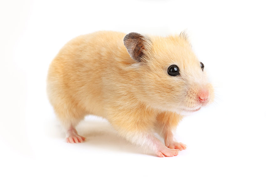 hamsters make great pets