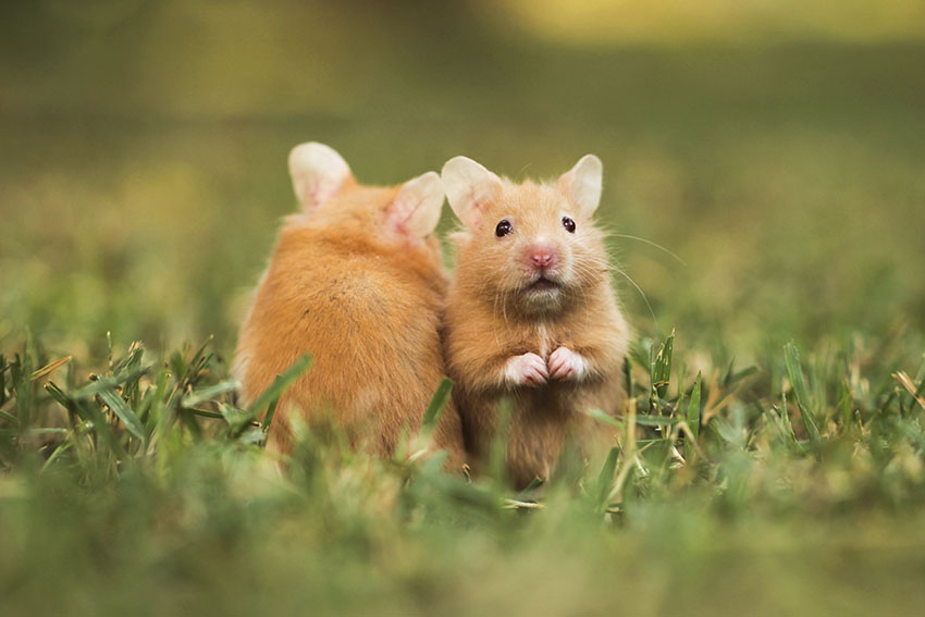 hamsters may fight