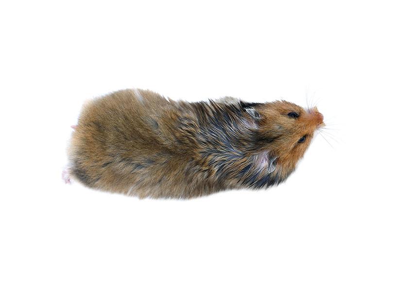 hamsters stay still