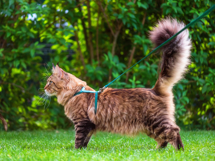 Cat Harnesses | Cat Care | Cats | Guide | Omlet US