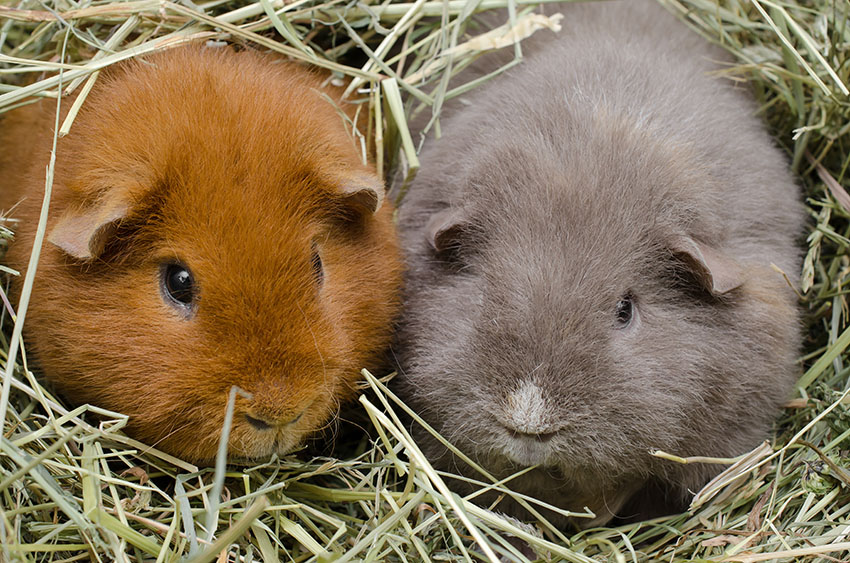 hay is important for guinea pigs
