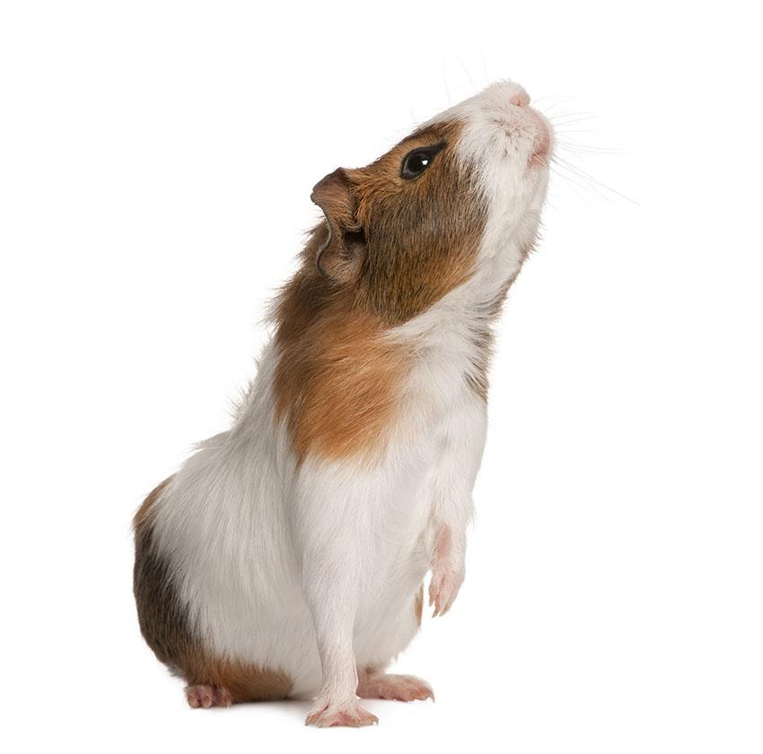 healthy guinea pig