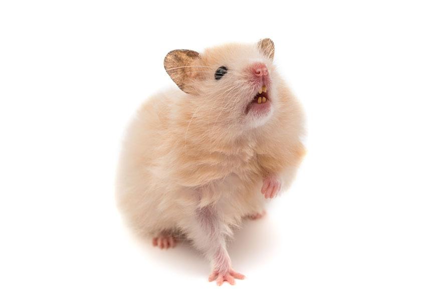Hamster Healthy Teeth | Hamster Illnesses | Hamsters | Guide | Omlet US
