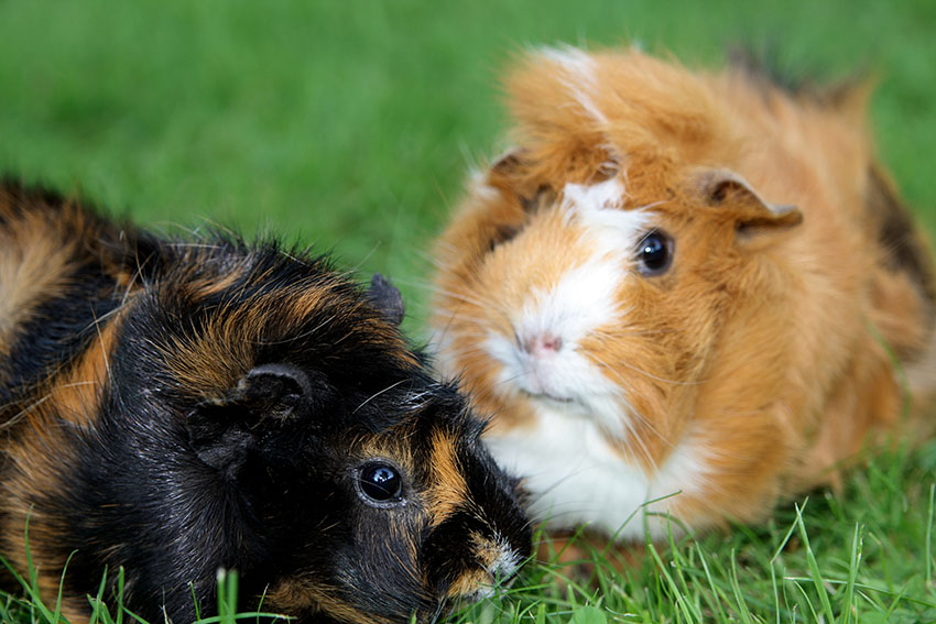 healthy happy guinea pigs