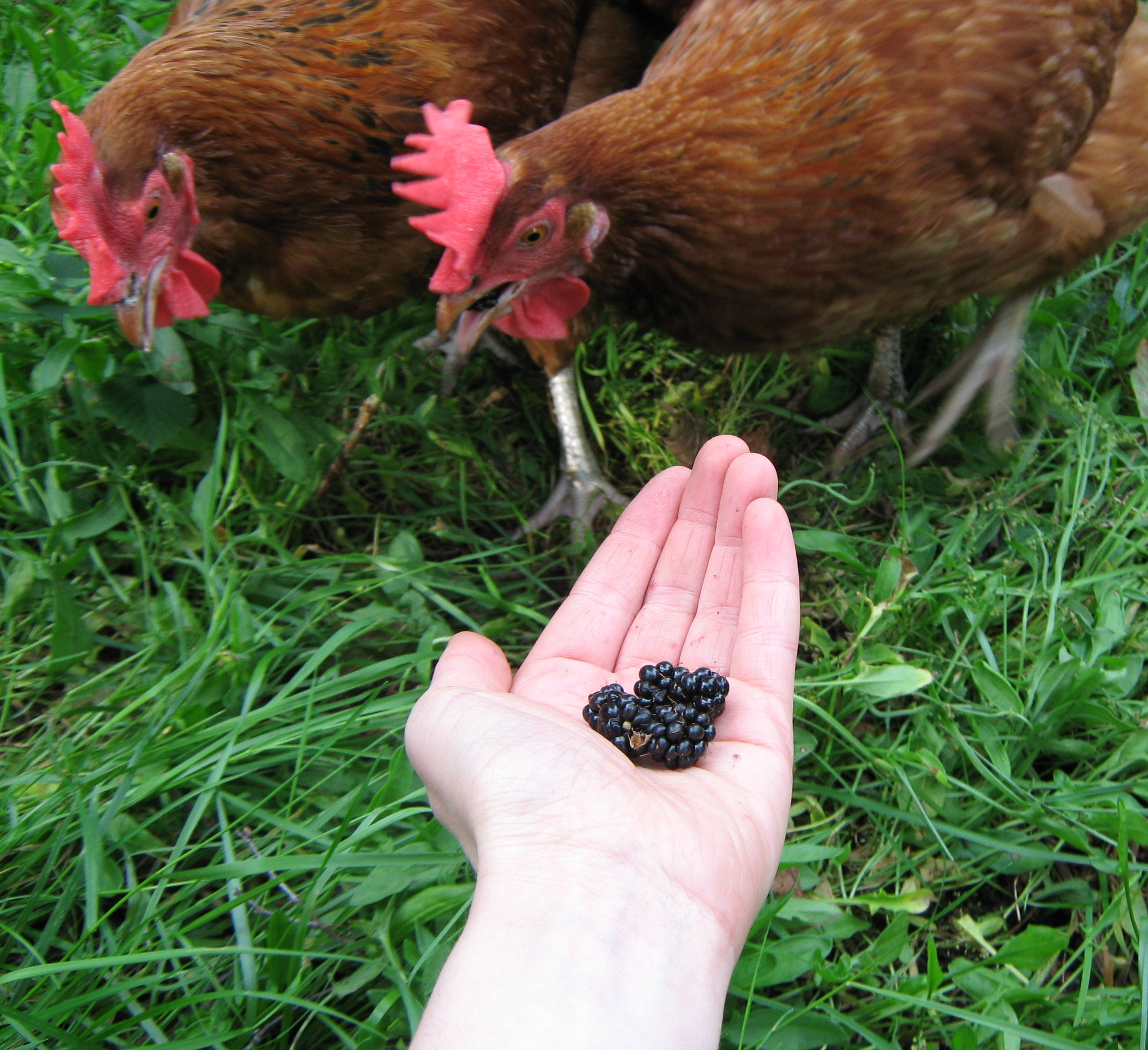 Jessica Umpleby's chickens love feeding on the fallen fruit in the garden
