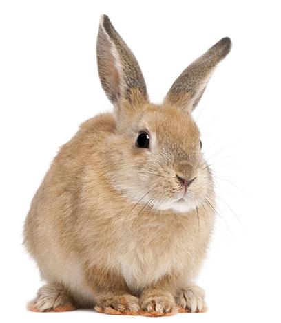 How Long Do Rabbits Live?   Should I Get Rabbits?   Rabbits   Guide