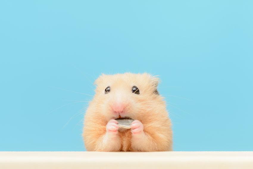 Hur ofta du behöver rengöra din hamsterbur beror på flera olika saker, men vanligtvis brukar en gång i veckan räcka