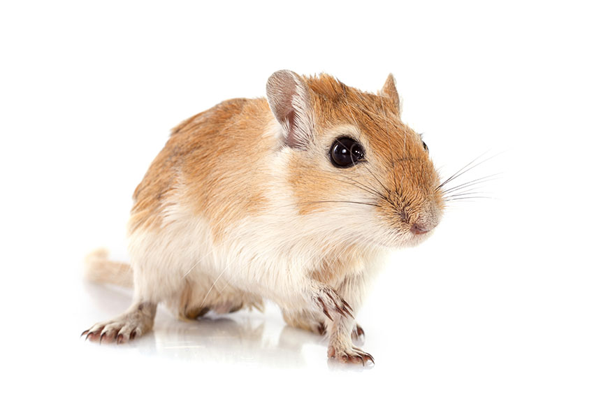 how to clean a gerbil