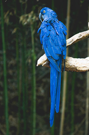 Hyacinth Macaw toilet training