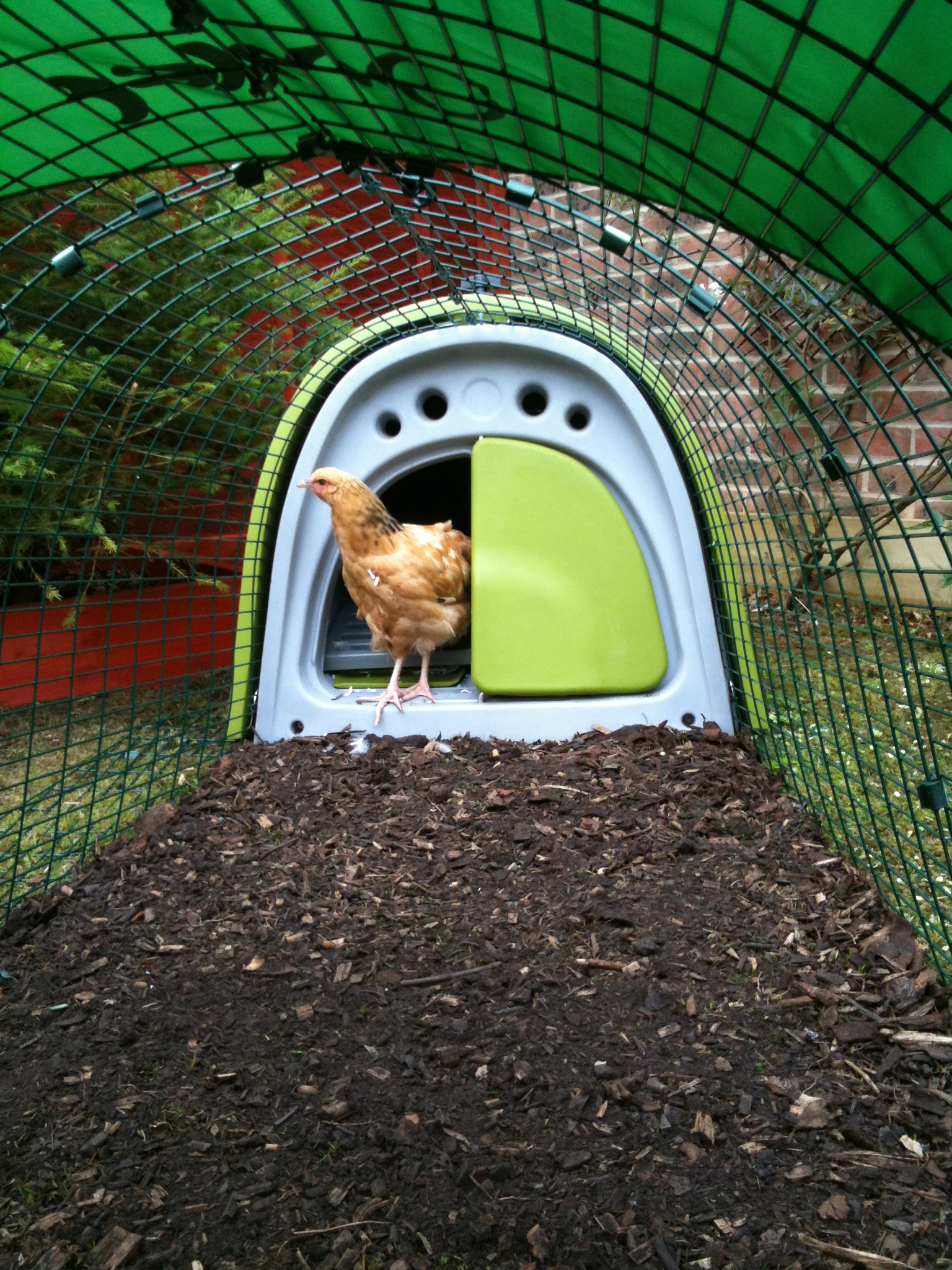 Tim Buswell has put his Eglu Classic on a bed of wood shaving which chickens love