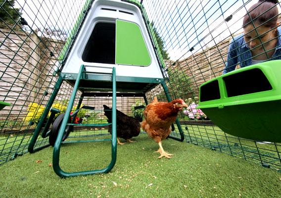 Chickens safely inside the Eglu Go UP chicken run.