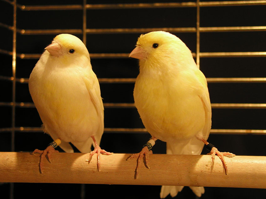 Keeping Canaries in pairs