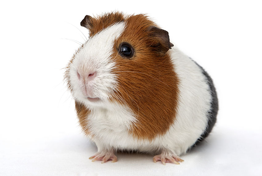 lonely guinea pig