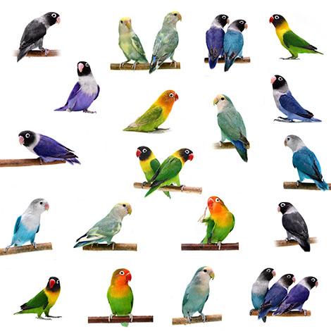 Lovebird varieties