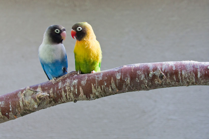 Masked Lovebird varieties