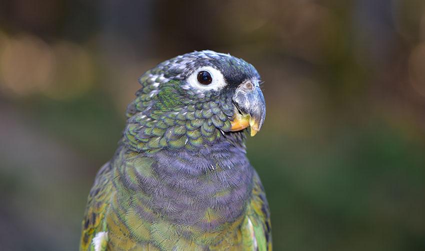Maximilian's Parrot or Maximilian's Pionus