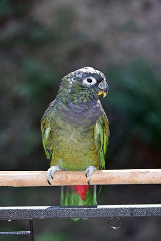 Maximilians Parrot in aviary