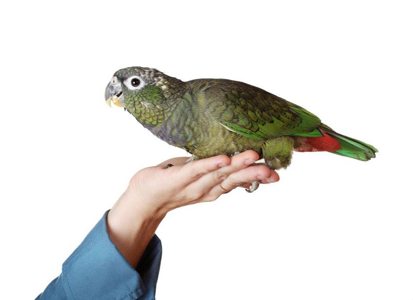 Maximillians Pionus Parrot