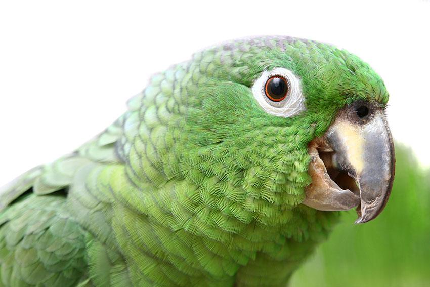 Parrot Parasites | Parrots and Disease | Parrots | Guide