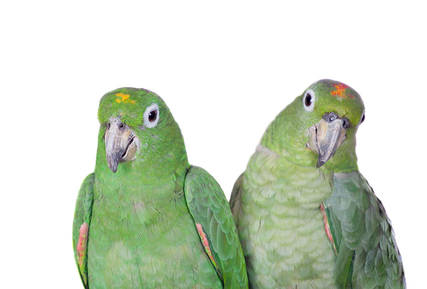 Mealy Amazon pair
