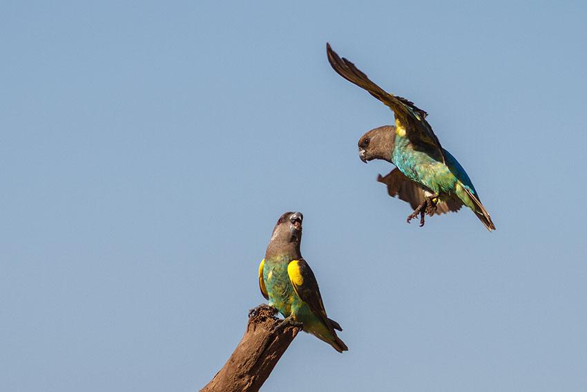 Parrot Diseases | Parrots and Disease | Parrots | Guide