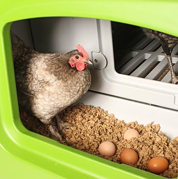 A chicken in the eggport of the Eglu Cube hen house with freshly laid eggs
