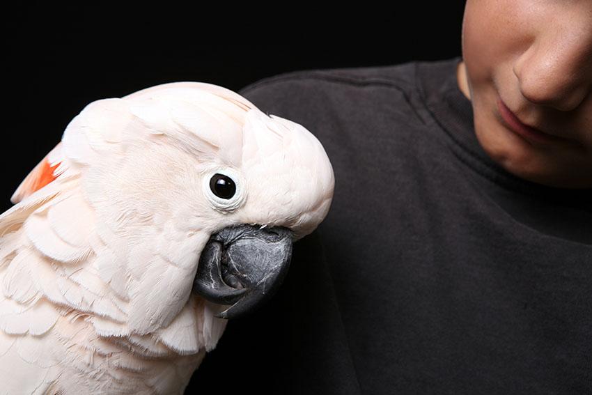 Moluccan cockatoo handling