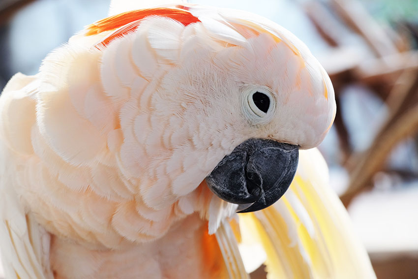 Moluccan Cockatoo