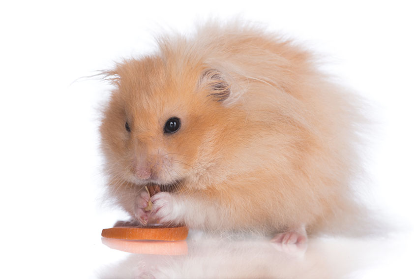 Hamster Illnesses In Old Age | Hamster Illnesses | Hamsters