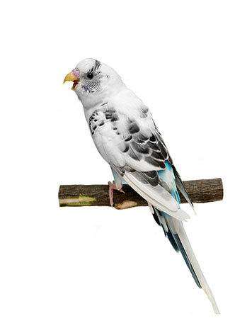 Budgie Sounds Meaning | Budgie Sounds | Budgie Guide | Guide | Omlet UK