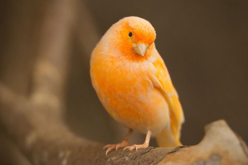 Orange Canary