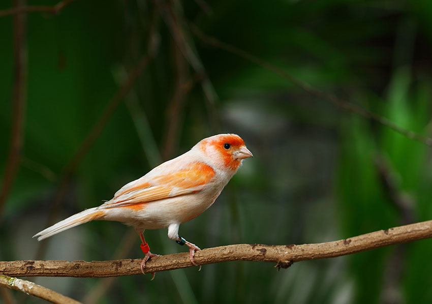 orange-faced canary