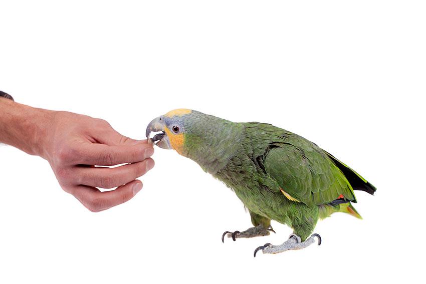 Orange-winged Amazon hand-feeding
