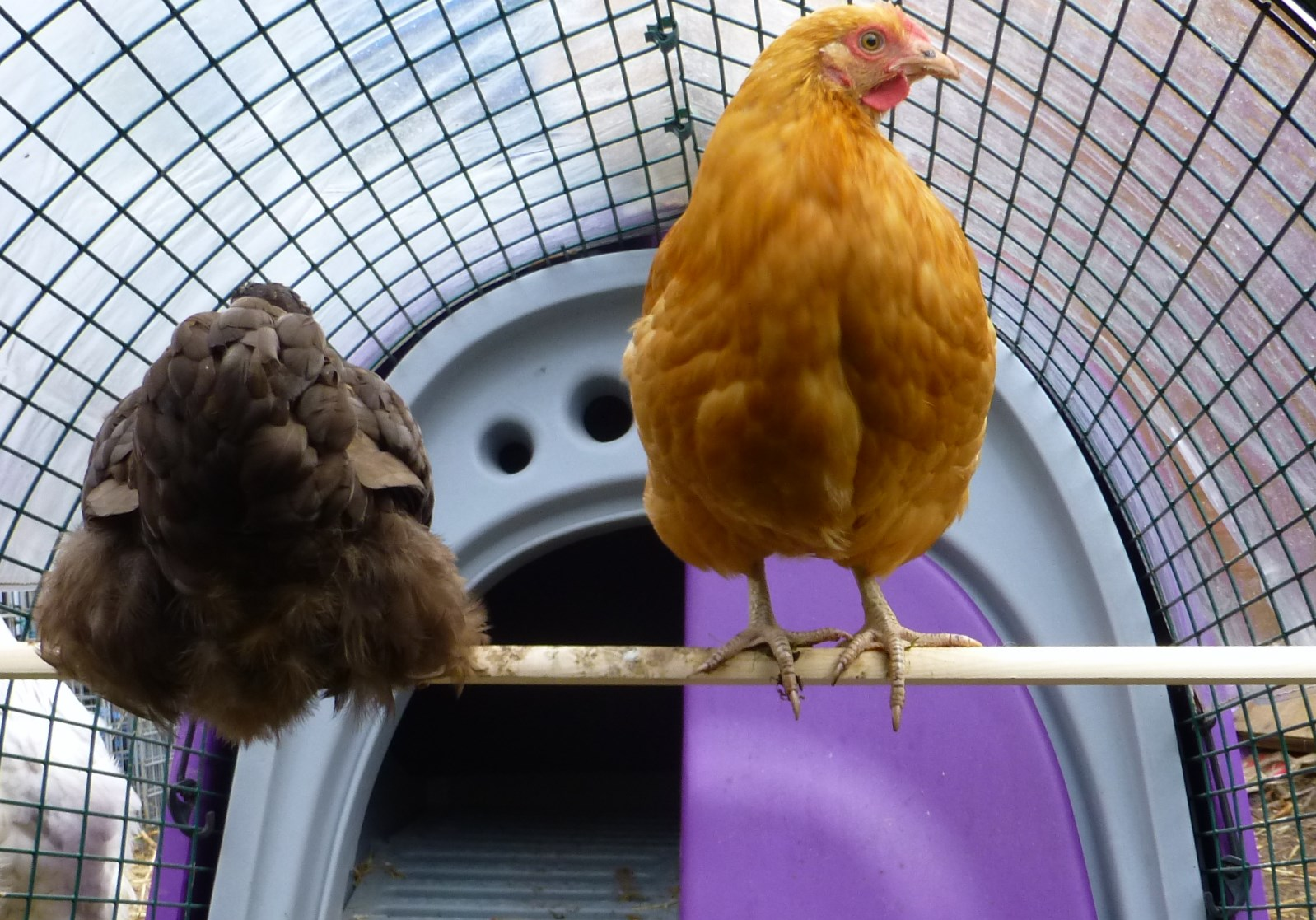 A Chocolate and a Buff Orpington roosting on a branch in their Eglu Run
