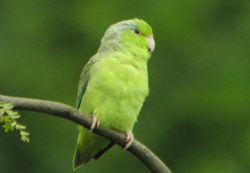 Pacific Parrotlet