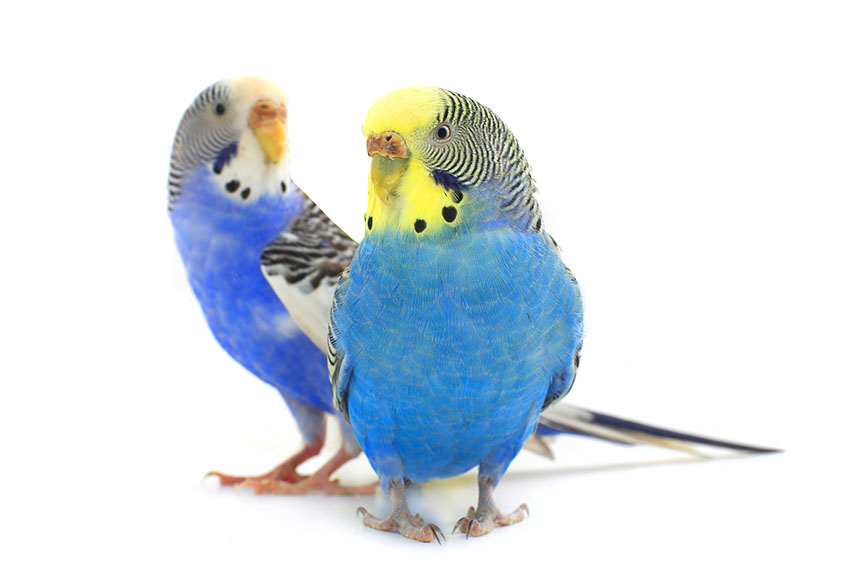 Keeping Budgies in a Cage | Budgie Keeping | Budgie Guide