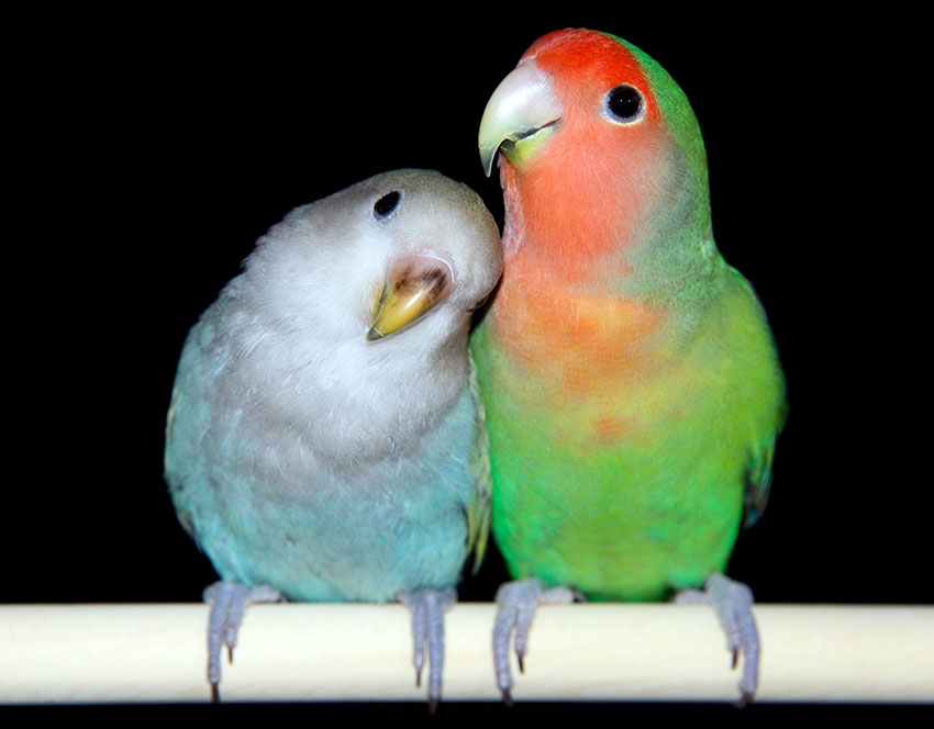 Peach-faced Lovebirds-normal-and-blue-type in aviary