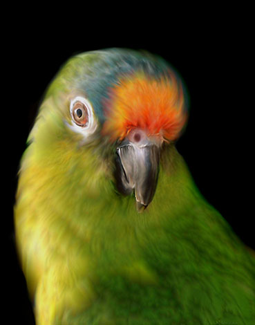 Peach-fronted Conure