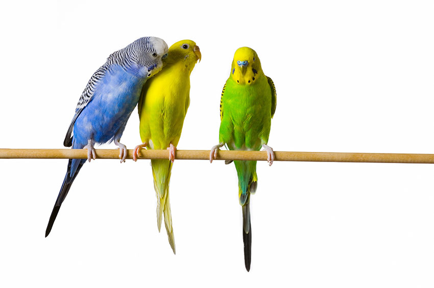 Pet budgies on a perch