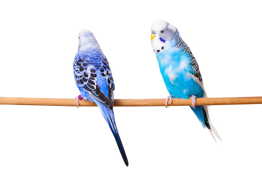 pied blue budgies