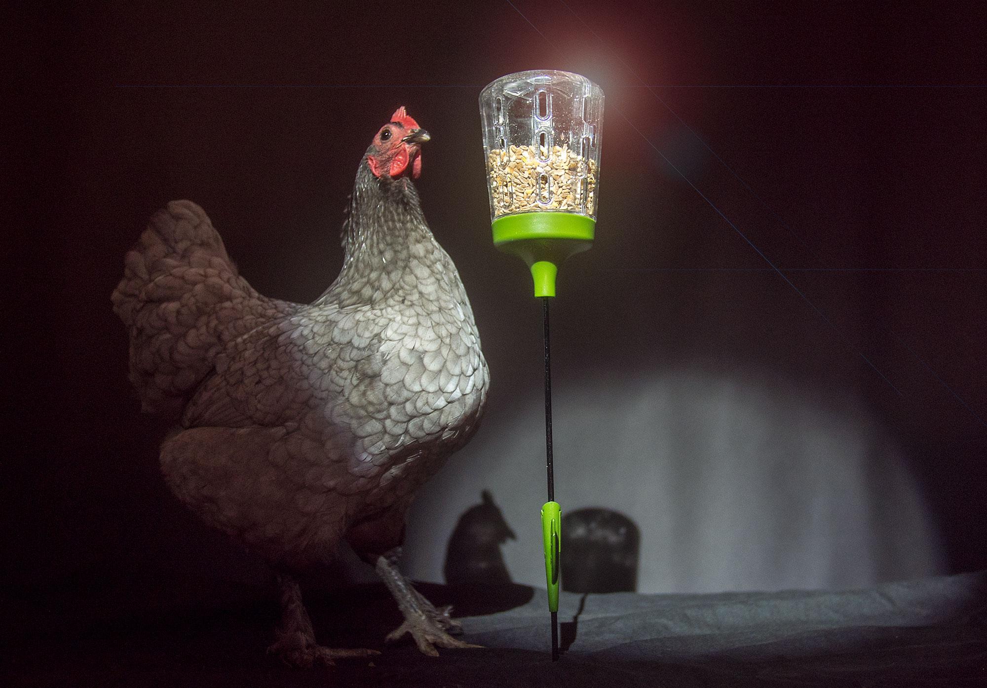 poules-devant-le-jouet-a-picorer-elvis