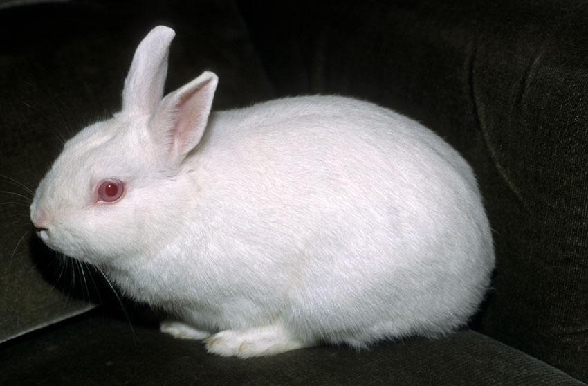 A healthy Polish Dwarf rabbit