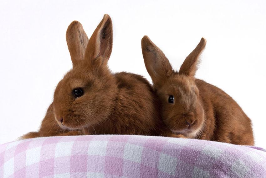 Thrianta Rabbit breed