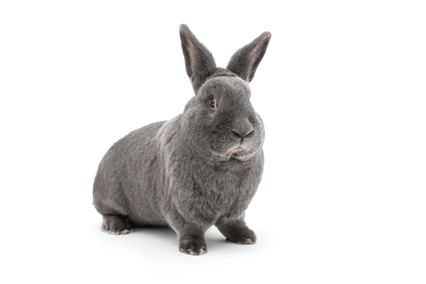 Vienna Blue Rabbit