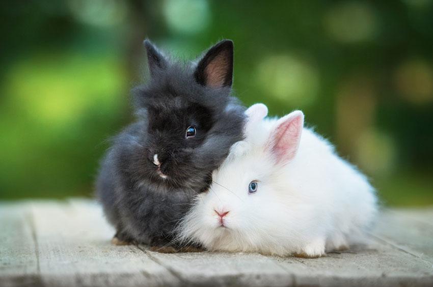 Angora Rabbit babies