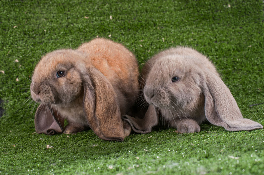 These English Lop-eared Rabbits love to play