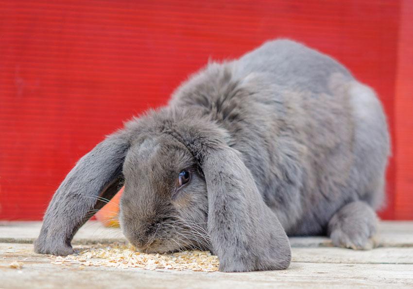 Lop-eared Blue Rabbit