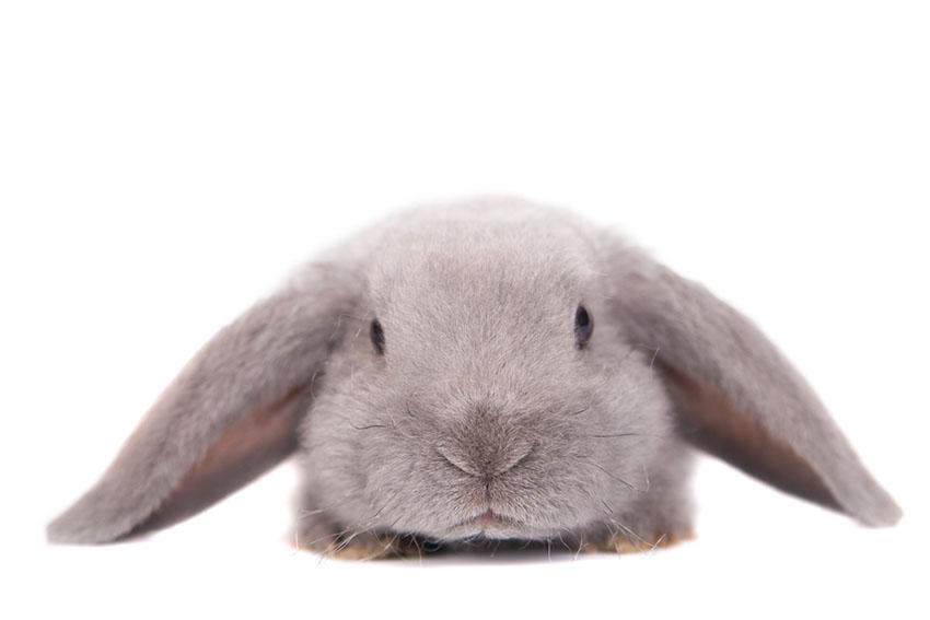 Rabbit lop eared Rex
