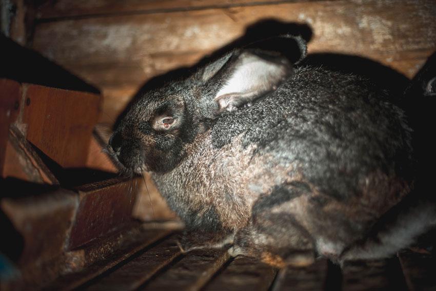 A rabbit with myxomatosis