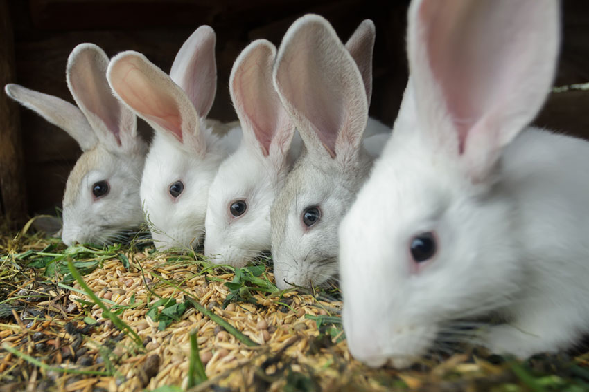 Rabbits live in large groups